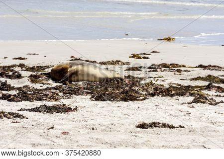 Sleeping Australian Sea Lion On The Kangaroo Island Beach, South Australia , Seal Bay