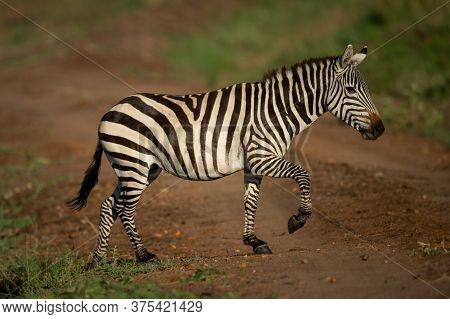 Plains Zebra Lifts Hoof Crossing Dirt Track
