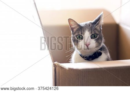 The Gray-white Domestic Curious And Worried Cat Sitting In A Cardboard Box And Looking At The Camera