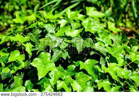 White And Green Leaves Of Hedera Helix, The Common Ivy, English Or European Ivy Plant In An Autumn G