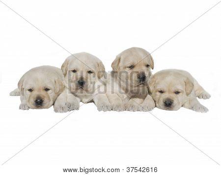 Labrador litter puppies