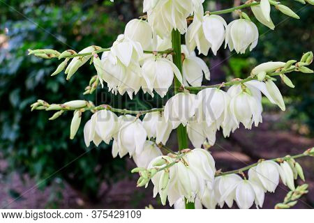 Many Delicate White Flowers Of Yucca Filamentosa Plant, Commonly Known As Adam's Needle And Thread,