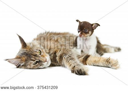 Maine Coon Cat And Chihuahua Puppy, Isolated. Little Cute Dog And Cute Adult Tortoiseshell Maine-coo