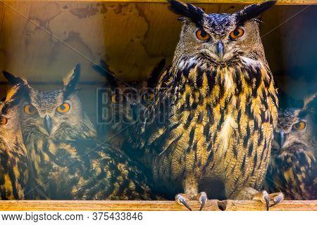 Beautiful Portrait Of A Group Of Eurasian Eagle Owls, Popular Bird Specie Form Eurasia
