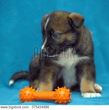 Crossbreed Puppy Shepherd Dog On A Blue Background And A Rubber Toy Bone.