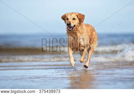 Happy Golden Retriever Dog Portrait In A Straw Hat Outdoors In Summer
