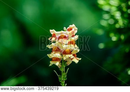 Vivid Yellow And Orange Dragon Flowers Or Snapdragons Or Antirrhinum In A Sunny Spring Garden, Beaut
