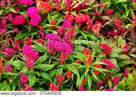 Celosia Argentea Or Plumed Cockscomb Blossom On Neture Background