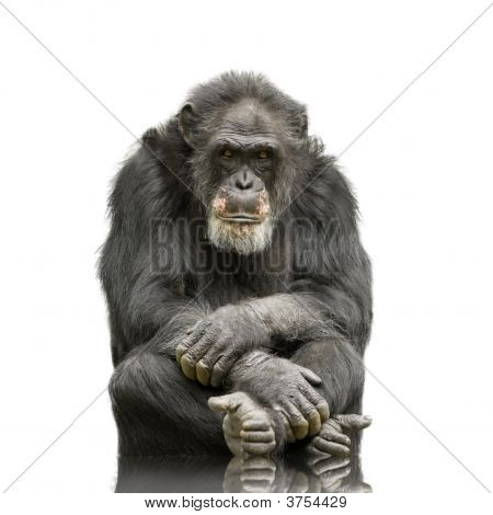 Chimpanzee Simia Troglodytes