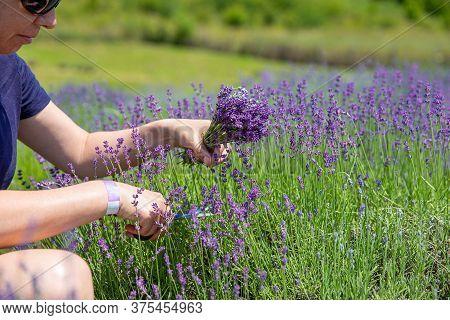 Woman In Lavender Garden Picking Deep Purple Flower
