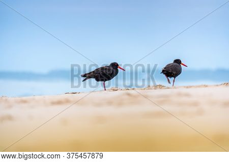 An image of a black Oystercatcher bird at the beach in south Australia