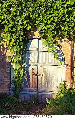 Detailed View Of Old Wooden Gate Into The Cellar Covered By Grapevine. Grapevine Leaves Border. Natu