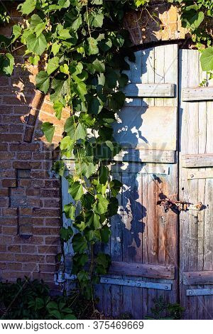 Close-up View Of Old Wooden Gate Into The Cellar Covered By Grapevine. Grapevine Leaves Border. Natu
