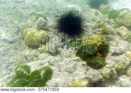 A Huge Sea Urchin