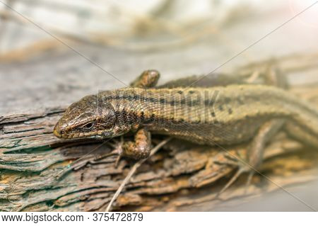 A Small Lizard Hid Among The Stones And Rotten Remains Of A Tree In The Forest