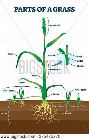 Parts Of Grass With Educational Labeled Structure Anatomy Vector Illustration. Simple Plant Growth E