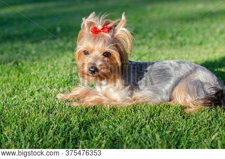 Dog Pet Yorkshire Terrier On A Walk In The Park On Summer Day Outdoors