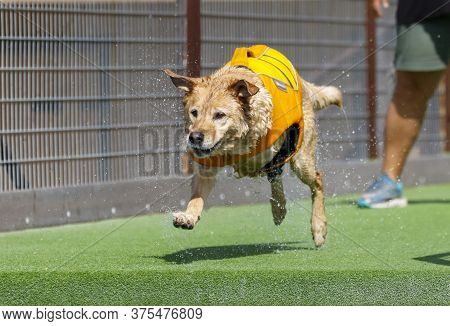 Three Legged Dog About To Jump Off A Dock In A Dog Water Dock Diving Event