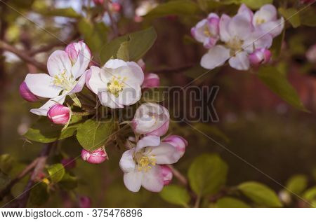 Sprig Of Flowering Pear. White And Pink Flowers With Leaves. Selective Focus Soft Spring Floral Back