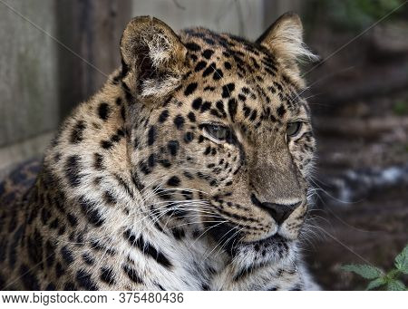 Uk, Welwyn - October 2017: Amur Leopard In Captivity - Close Up