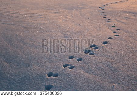 Dog Footprints In The Glistening Snow. The Snow Glows Blue And Yellow From The Setting Sun. Footprin