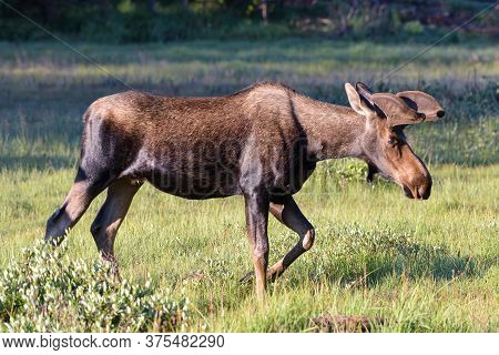 Colorado Moose Living In The Wild. Bull Moose On The Move