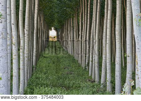 A Row Of Poplars In A Wood Plantation