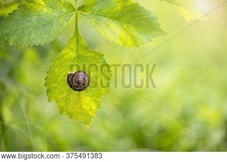 Snail On A Green Leaf On A Sunny Day, Hid In A House, Garden Snail House