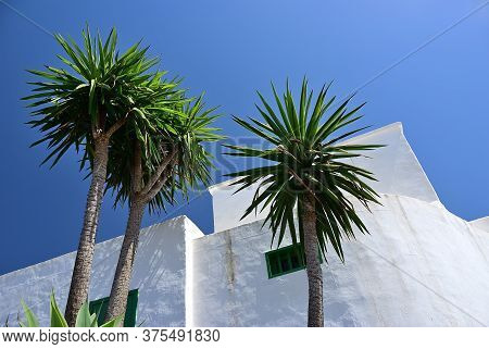 Three Palms Trees Against Bright White Wall Of Traditional Spanish House. Lanzarote,  Canary Islands