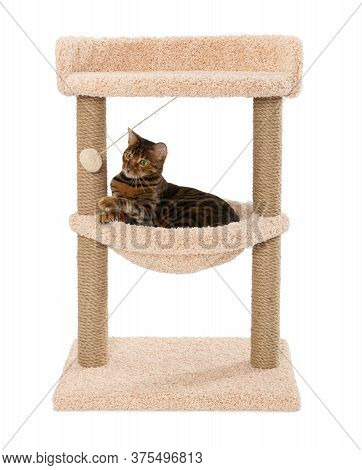 Toyger Cat Lies In A Hammock And Plays With A Ball. Scratching Play Complex For Cats With Two Poles