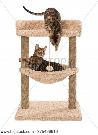 Toyger And Bengal Cats Are Sitting On The Scratching Post. Scratching Play Complex For Cats With Two