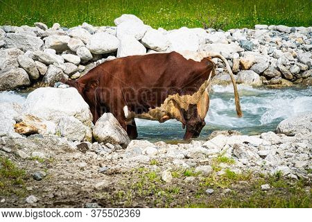 Dairy Cattle At River, Cow Stay At Mountain Stream