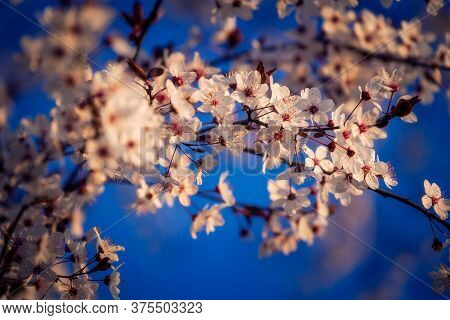Blooming Branch Of A Tree In Full Bloom During Spring Season Against Blue Clear Sky