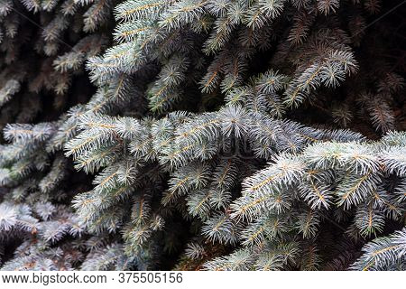 Silver Pine Tree, Silver Spruce Pine, Fir Tree Brunches Closeup Photo