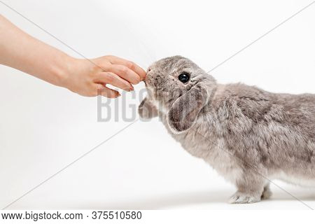 A Woman Feeds A Lop-eared Gray Rabbit. White Background, Side View. Hand And Animal Close-up. The En