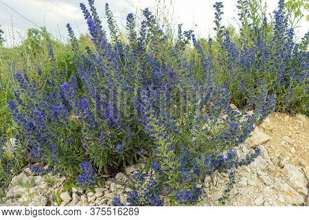 Honey Plant Bruise. High Stem, Small Blue Flowers With Purple Stamens. Green Landscape. Forest, High