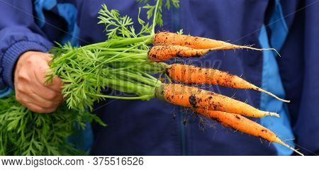 A Womans Hand Holds A Bunch Of Fresh Young Unwashed Carrots