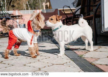 Yorkshire Terrier Met Jack Russell Terrier On Road