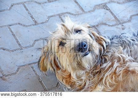 Funny Shaggy Puppy Lies On The Paving Slabs And Smiles. Dog On The Street. Portrait Of A Puppy. High