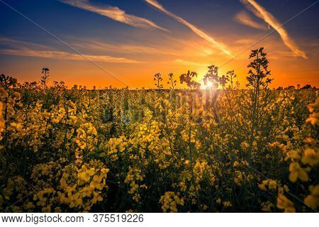 Beautiful Yellow Canola Field In The Sunset Against A Cloudy Sky Shot Close Up