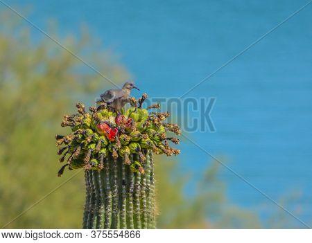 A White-winged Dove, Zenaida Asiatica, Feeding On Fruit Of The Saguaro Cactus, Carnegiea Gigantea, I