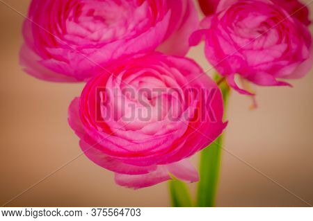Close Up Of A Bouquet Of Ranunculus Pink Summer Flowers Variety, Studio Shot, Pink Flowers