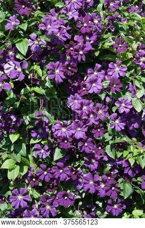 An Italian Leather Flower Also Known As A Purple Clematis Or Venosa Violacea Clematis
