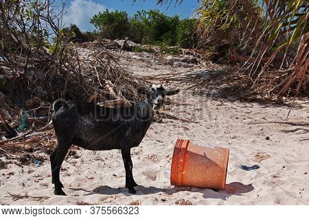 Nungwi, Zanzibar / Tanzania - 01 Jan 2017: Wild Goat On Nungwi Beach, Zanzibar, Tanzania