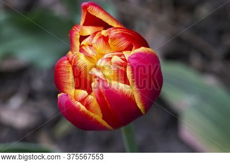 Beautiful Magnificent Red Tulip. Beautiful Red Flowers.