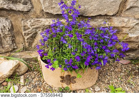 A Close View Of Beautiful Light Purple Blue Aubretia Flowers Against Green Leaves In Spring. Aubreti