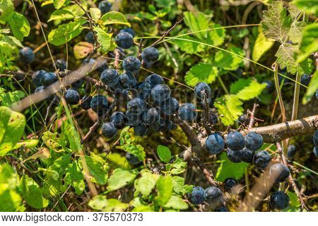 Purple-blue waxy blackthorn or sloe fruits close-up.