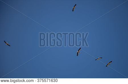 A Flock Of Storks On A Background Of Blue Sky. Four Birds Fly In The Clouds. Stork Isolated. Big Whi