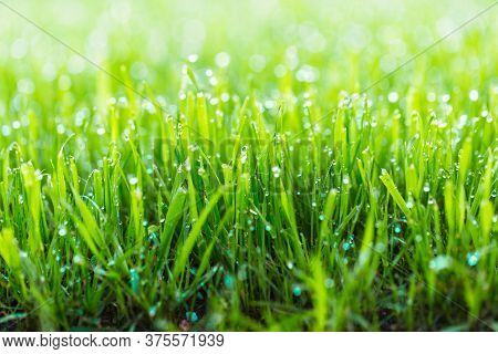 Beauty Backgrounds With Foliage, Green Grass, Dew Drops And Bokeh