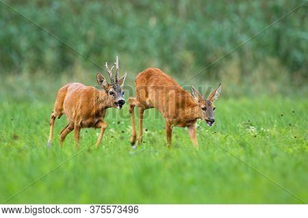 Pair Of Roe Deer Running On Meadow In Rutting Season.